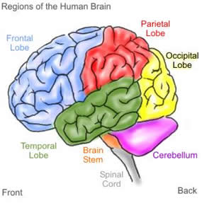 brain_witelson.jpg
