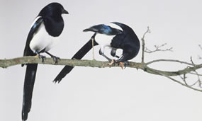 two-black-billed-magpies-001.jpg
